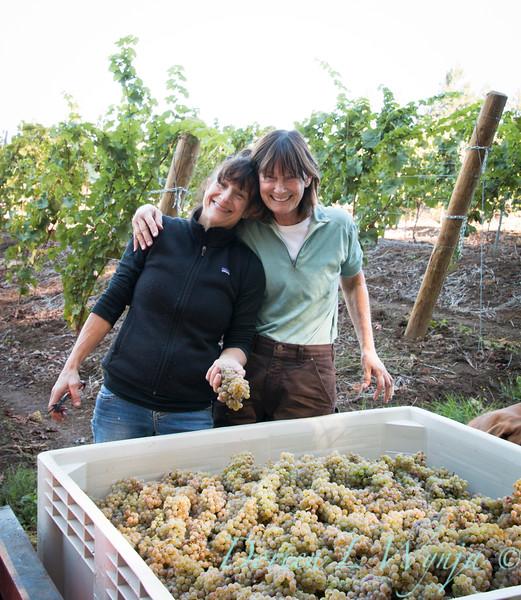 Nemarniki vineyards harvest_0272