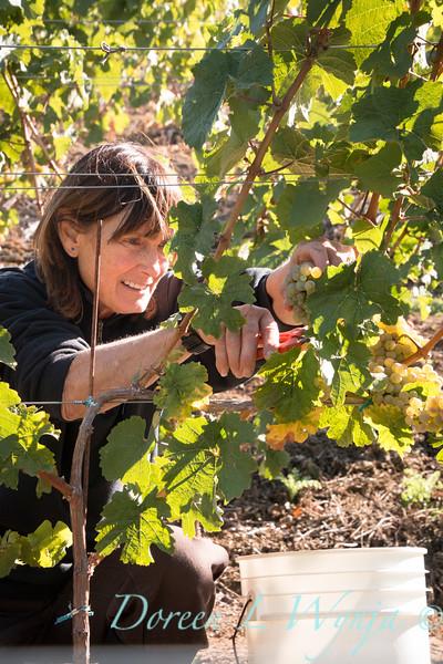 Nemarniki vineyards harvest_0268
