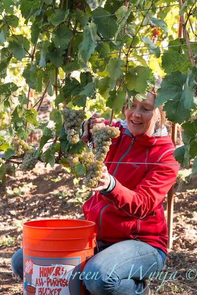 Nemarniki vineyards harvest_0258
