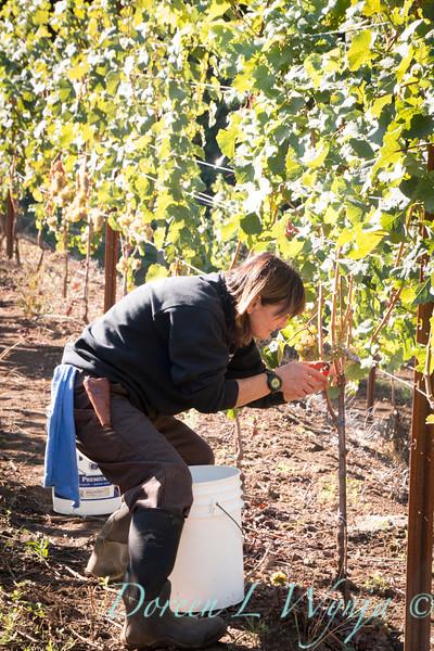 Nemarniki vineyards harvest_0267