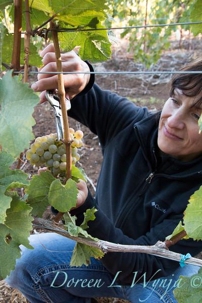 Nemarniki vineyards harvest_0254