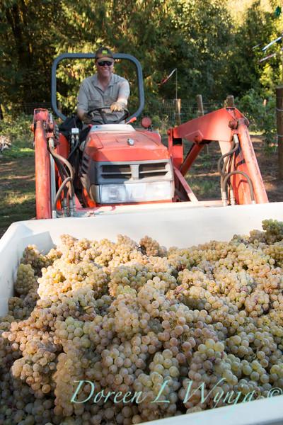Nemarniki vineyards harvest_0276