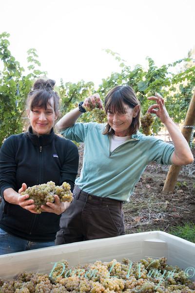 Nemarniki vineyards harvest_0273