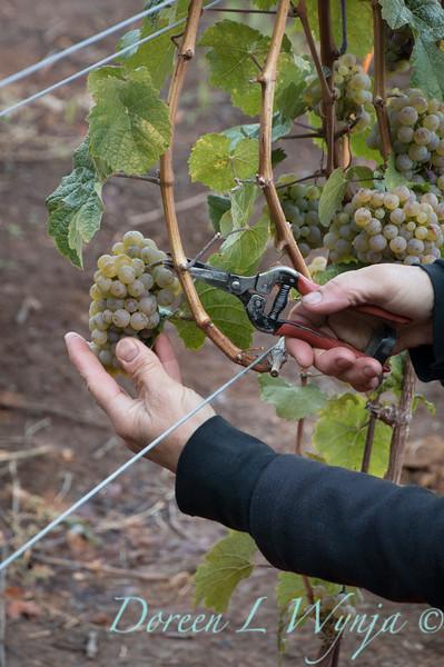 Nemarniki vineyards harvest_0252