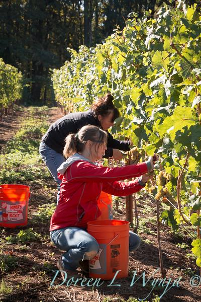 Nemarniki vineyards harvest_0270
