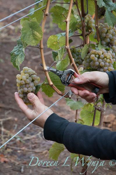 Nemarniki vineyards harvest_0253