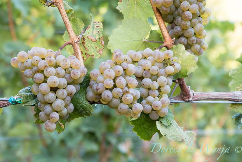 Nemarniki vineyards harvest_0249