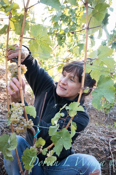 Nemarniki vineyards harvest_0259