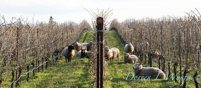 Durant sheep in the vineyard_8549