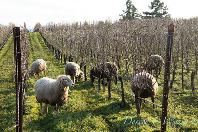Durant sheep in the vineyard_8506