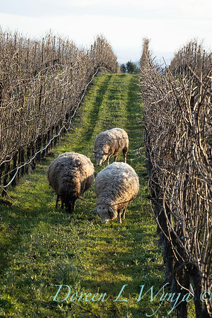 Durant sheep in the vineyard_8537