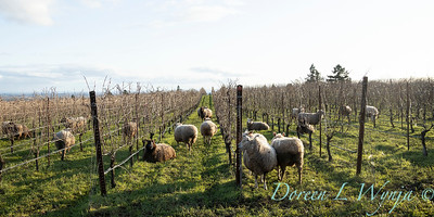 Durant sheep in the vineyard_8522