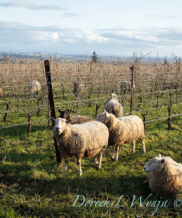 Durant sheep in the vineyard_8513