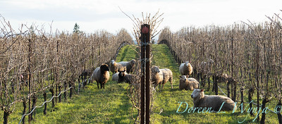 Durant sheep in the vineyard_8548