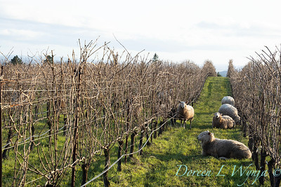 Durant sheep in the vineyard_8541