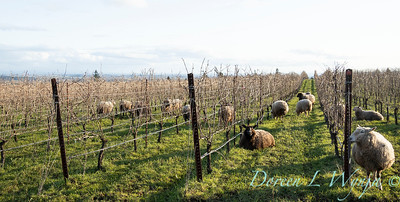 Durant sheep in the vineyard_8524
