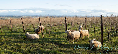 Durant sheep in the vineyard_8514