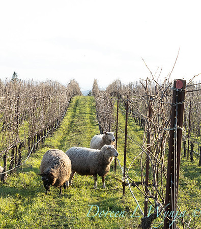 Durant sheep in the vineyard_8517