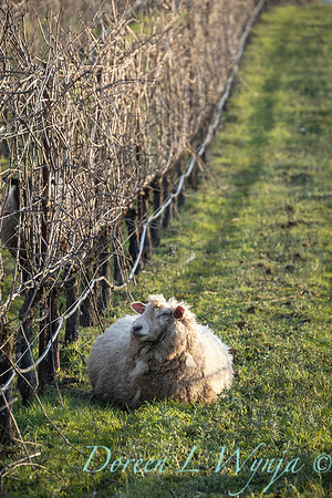 Durant sheep in the vineyard_8551