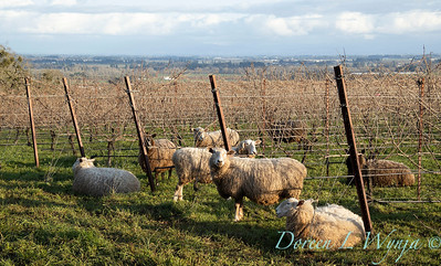 Durant sheep in the vineyard_8509
