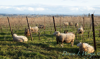 Durant sheep in the vineyard_8511