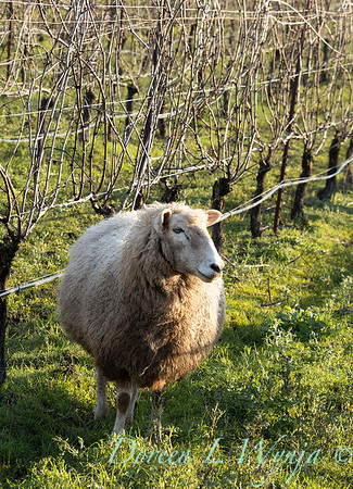 Durant sheep in the vineyard_8502