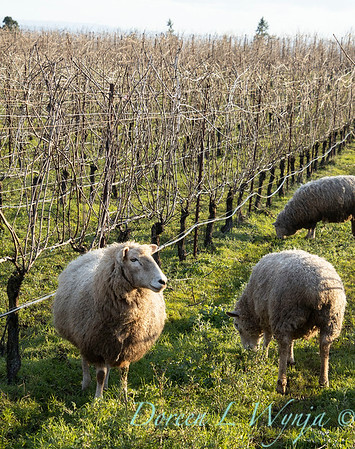 Durant sheep in the vineyard_8503