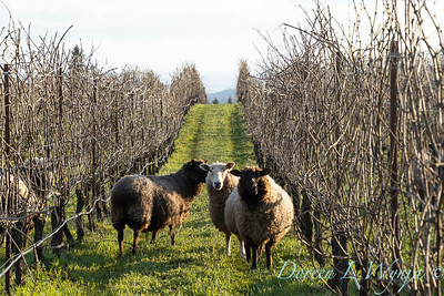 Durant sheep in the vineyard_8525