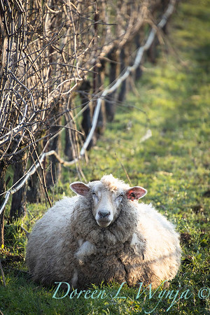 Durant sheep in the vineyard_8554