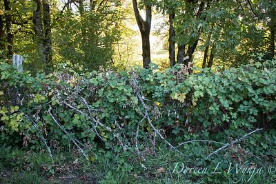 Blackberry fence - Roco Winery_557