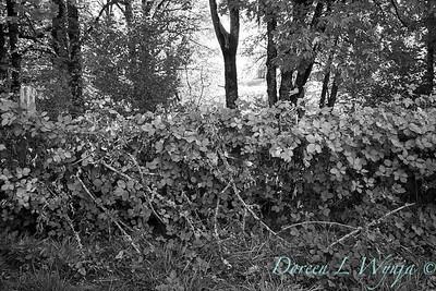 Blackberry fence - Roco Winery_558