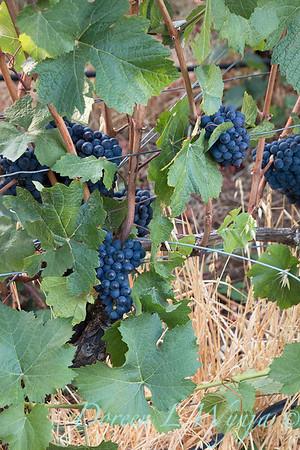 In the vineyard_312