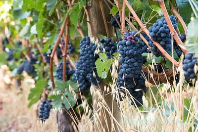 In the vineyard_313
