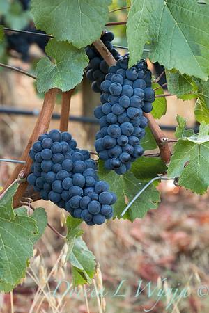 In the vineyard_318