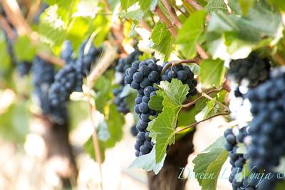 In the vineyard_317