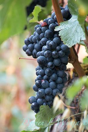 In the vineyard_316