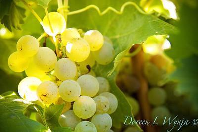 Chardonnay_025