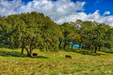 Cows in Sonoma