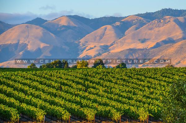 Greengate Ranch vineyard-3411