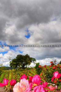 vineyard-roses_3732-Devolt