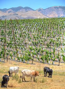 cows-vineyard_9284