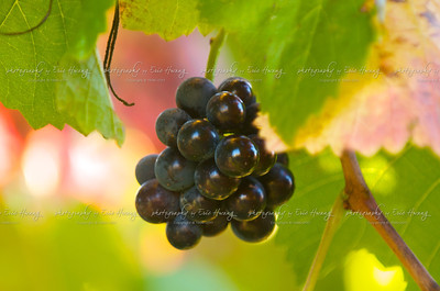 Ripe Pinot Noir grapes hang on a vine in Sonoma County just before harvest.