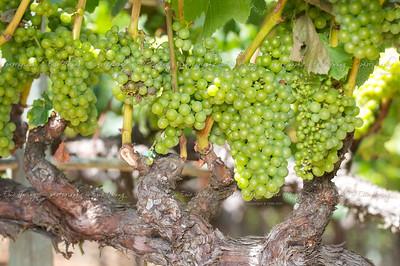 Chardonnay grapes at veraison