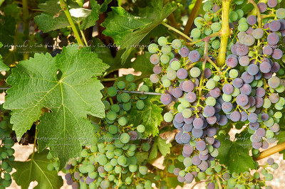 Cabernet Sauvignon grapes at veraison
