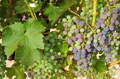 Cabernet Sauvignon grapes at veraison