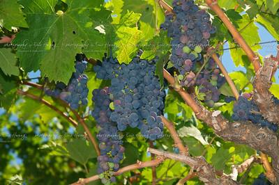 Grapes at veraison