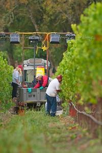 Picking grapes