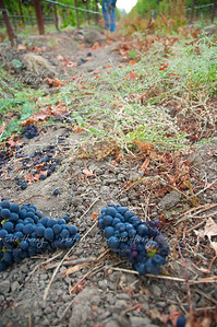 Thinned grapes discarded on the ground