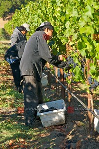 Picking grapes