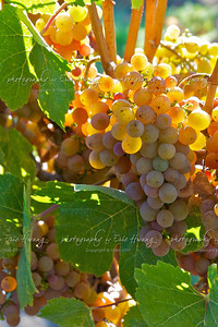 Gewürtztraminer grapes waiting to be picked